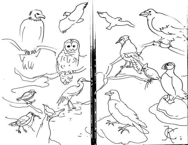 Maine birds demo drawing by Catinka Knoth
